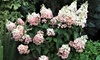 2 o 4 piante Hydrangea Paniculata ''Pink Diamond''