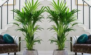 Palmier Kentia 90-100 cm