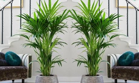 1 ou 2 palmiers Kentia en taille XL, 90-100cm à la livraison pot en plastique de 3 litres inclus
