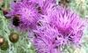 Centaurea Silver Feathers Plant