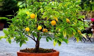 Lot d'arbres fruitiers