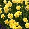 Pre-Order Double Daffodil Flower Bulbs (12, 18, or 30-Pack)