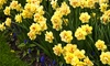 New Product Solutions: Double Daffodil Flower Bulbs (12, 24, or 30-Pack)