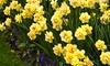 Double Daffodil Flower Bulbs (12, 24, or 30-Pack)