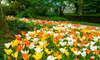 Pre-Order: Ground Cover Tulip Bulbs with Optional Planting Tool: Pre-Order: Ground Cover Tulip Bulbs with Optional Planting Tool (12-, 24-, or 60-Pack)