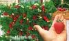 "Kletter-Erdbeerpflanze ""Mount Everest """