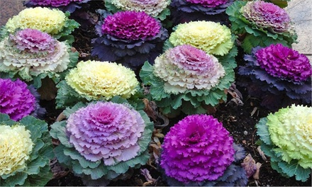 Brassica Ornamental Cabbage Plants Groupon Goods