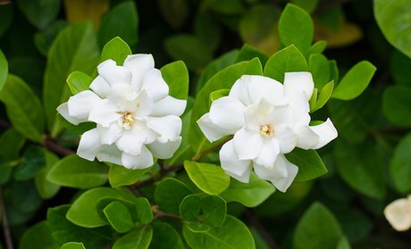 Fragrant Ever-Blooming Potted Gardenia Plant