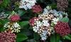 Arbuste Viburnum Tinus