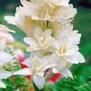 Tuberose Flower Bulbs (10-Count)