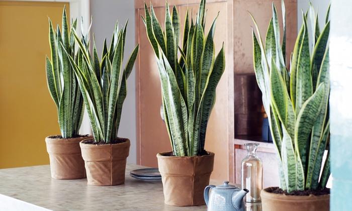 Groupon Goods Global GmbH: 2 ou 4 plantes d'intérieur Sansevieria