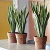 Plantes d'intérieur Sansevieria