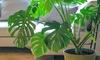 Plante XL Monstera Deliciosa