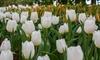 Black Tulip and White Daffodil Planter Kit