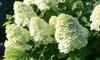 Three Hydrangea Limelight Plants