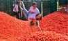 Up to 45% Off General Admission to Tomato Fight USA