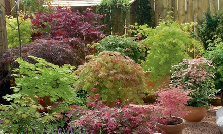 Two or Four Acer Palmatum Collection Plants with Optional Terracotta Pots