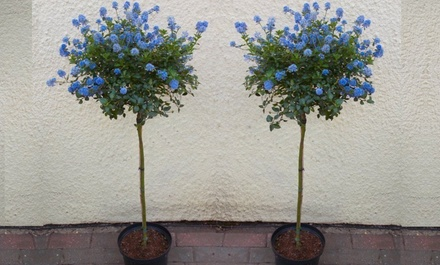 Two Large Evergreen California Lilac Trees with Optional Planters