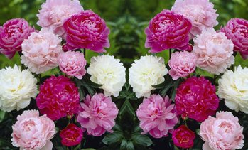 Peony Collection Plants
