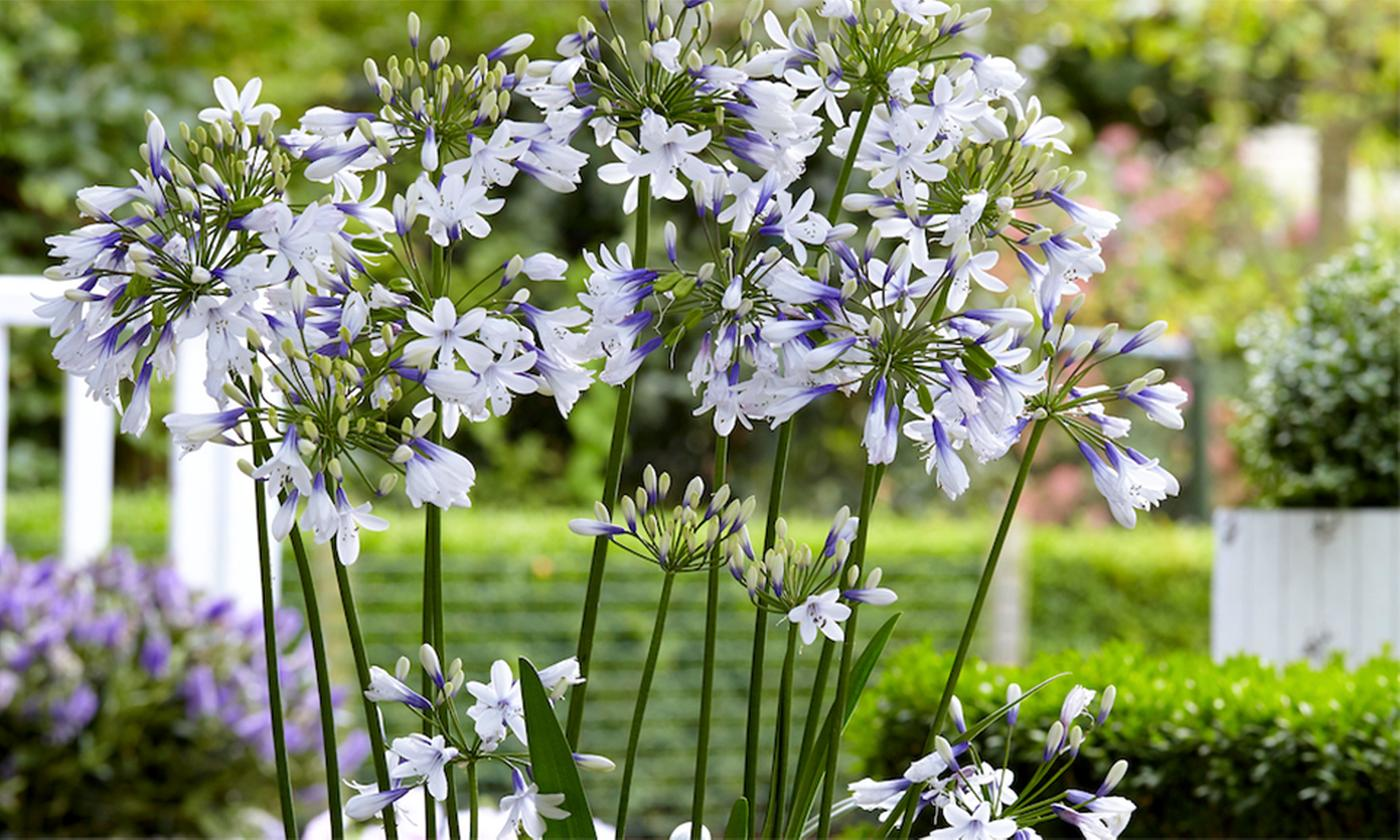 One, Two or Three Agapanthus Twister Plants