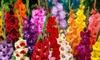Gladiolus Tall or Dwarf Flush of Color Bulb Mix Value Pack (100 Bulbs): Gladiolus Tall or Dwarf Flush of Color Bulb Mix Value Pack (100 Bulbs)