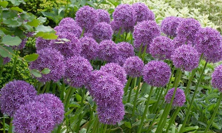 Allium Violet Beauty 50 Bulbs Collection