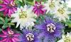 Pack de 3 o 6 plantas Passiflora