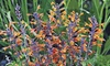 """Hummingbird Mint Tango 3"""" Plants (2-Pack)"""