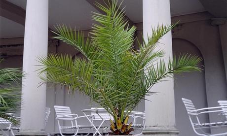 Juego de 3 ó 6 palmeras con opción a fertilizante