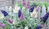 Buddleja Buzz Plants