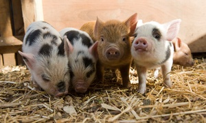 Kew Little Pigs: Mini Pig Keeping: 75-Minute or Two-Hour Course for Adults and Children at Kew Little Pigs (Up to 30% Off)