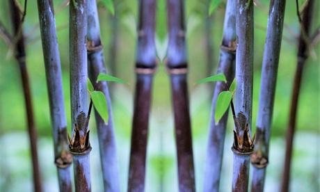 Set de 2 plantas de bambú púrpura