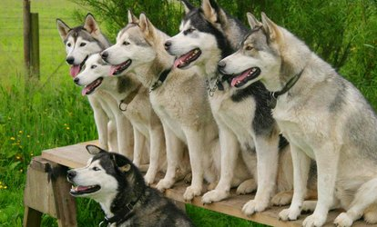image for Husky Hiking Experience with Adoption Certificate for One or Two at Horse and Husky (72% Off)