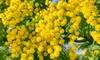 Plantes de mimosa Acacia dealbata