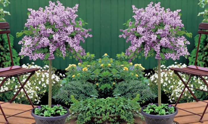 Lilac Dwarf Standard Tree Groupon Goods