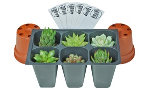 """Live Succulent Plants Fully Rooted Plugs and 2"""" Plastic Pots (6-Pack)"""