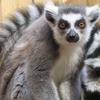 Lemur VIP Hand-Feeding Experience