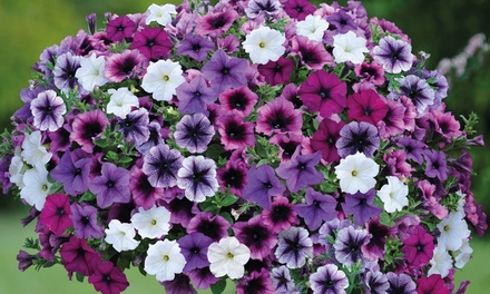 Giant Petunia Mix of 5, 10 or 20 Plants