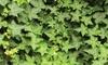 One or Two Hedera Hibernica Plants