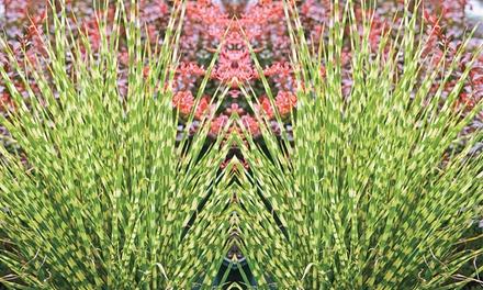 Ausdauerndes Gras: 3 Pflanzen