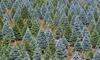 20% Off Tree Farm / Christmas Tree Farm