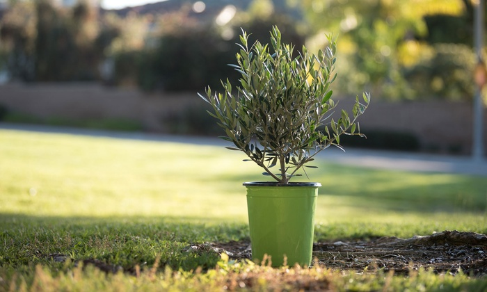 Up To 33 Off On Fruiting Edible Olive Tree Cal Groupon Goods