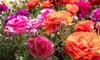 30, 60 or 90 Freesia and Ranunculus Duo Bulbs