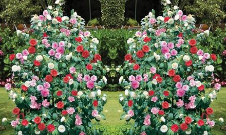 Camellia Tricolour Pot Groupon Goods