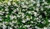 Set van jasmijnplanten