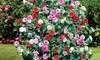 1 ou 2 lots de 3 plants de Camelias Japonais, 30-40 cm pot inclus