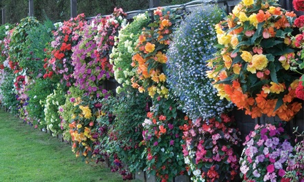 Up to 144 Summer Bedding Plants with Optional Hanging Baskets
