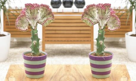 Cactus 'Cristata'