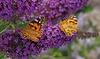 Set van 3 vlinderstruiken