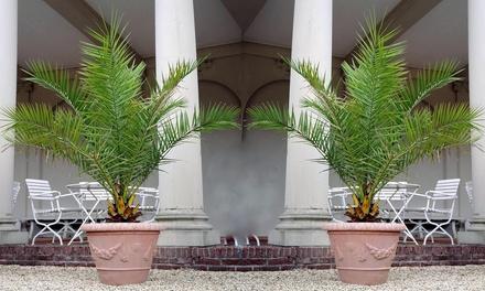Jusqu'à 4 palmiers dattiers des Canaries, 60-70cm ou 120-140 cm à la livraison